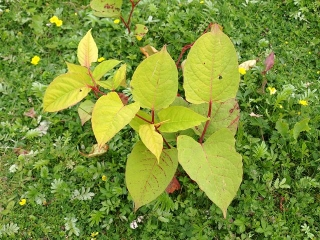 Young Japanese Knotweed
